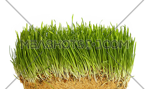 Spring fresh green grass growth structure with roots, close up over white background, low angle view