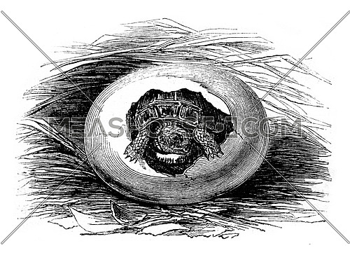 Museum of Natural History, Moorish tortoise's eggs during the hatching, natural size, vintage engraved illustration. Magasin Pittoresque 1852.