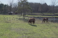 Cows feeding on grass feeding in a beautiful pasture