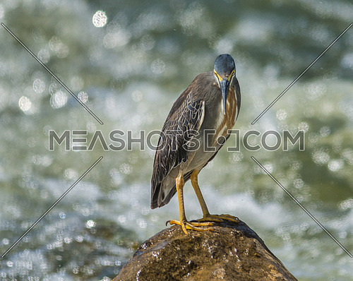 Striated heron standing on a rock in the middle of the water