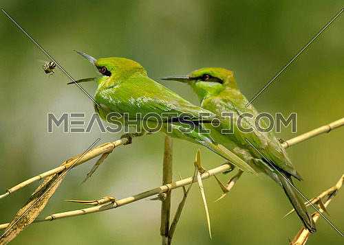 Little Green Bee Eater opening mouth and catching a bee