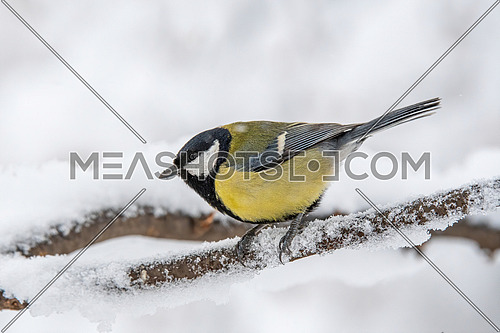 Cute Great tit (Parus major) bird in yellow black color sitting on tree branch in winter
