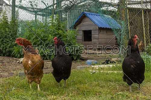 Three chickens in an enclosure in a farmyard with a small wooden hen house behind them in a close up low angle view