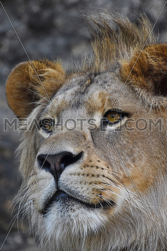 Extreme close up portrait of young cute male African lion with beautiful mane, looking away aside of camera, low angle view
