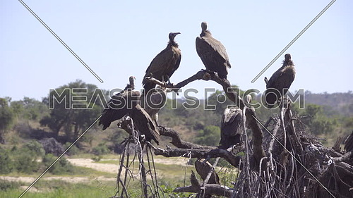 Scene of a commitee of perched vultures
