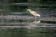 Squaco heron in hunting position