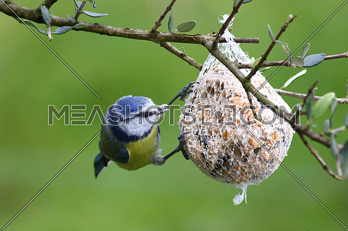 Blue tit, Parus caeruleus, at a bird feeder in an olive tree