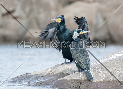 Great Cormorant Bird standing on a rock