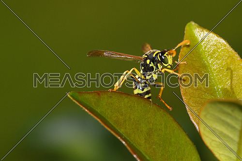 Front view of a wasp climbing on green leaves