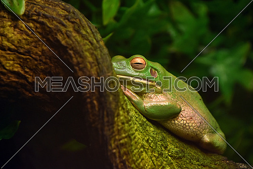 Close up side portrait of green tropical frog on tree trunk or branch, low angle view