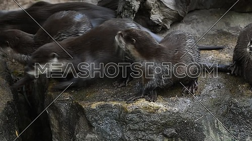 Close up view of several small river otters running and screaming, looking and camera and away, in zoo enclosure, high angle view