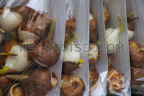 Close up tulip flower bulbs in plastic bag at retail display in Amsterdam, Netherlands