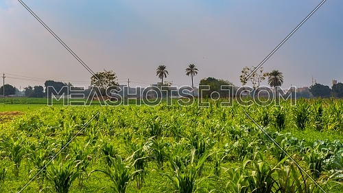 Green meadow, blue sky with few clouds and few trees and palms at the far end at an Egyptian village