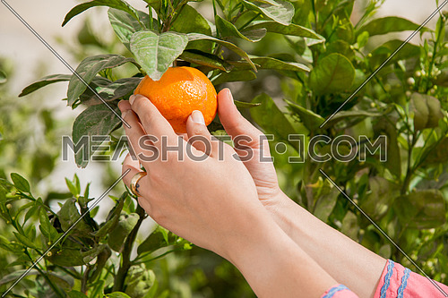 female hands holding a tangerine from the tree