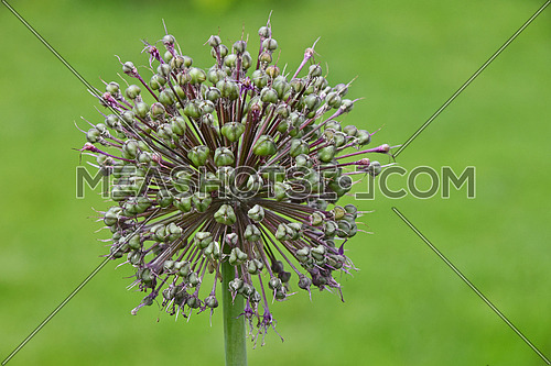 One green onion allium leek flower head with purple pink blossom over green background