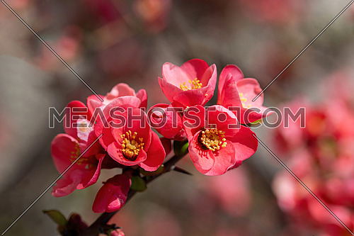 Close-up red flowers of Chaenomeles japonica shrub (Japanese quince or Maule's quince). Spring background.