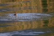 Great crested grebe washing off and flapping wings swimming away
