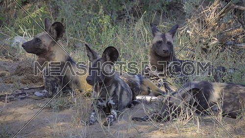 Pack of African wild dogs resting in the shade