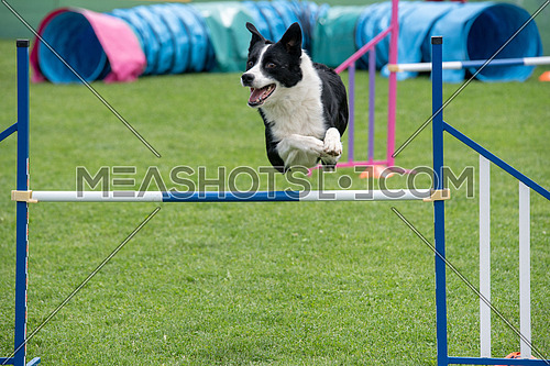Border Collie dog jumping over obstacle on agility competition. Selective focus