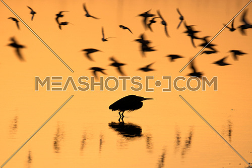 Shadows of migrating flying birds in sunset over water and standing heron