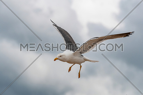 Lesser black-backed gull (Larus fuscus)in flight against sky background