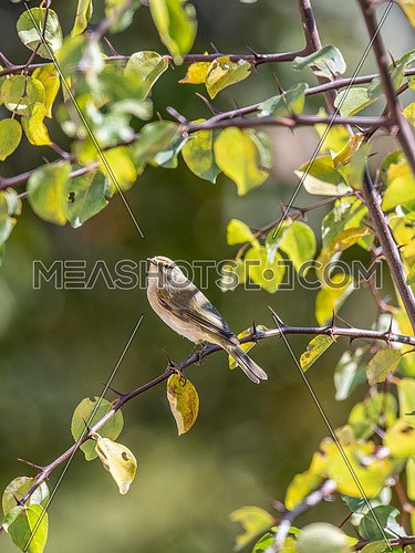 Common chiffchaff (Phylloscopus collybita) on tree in the garden