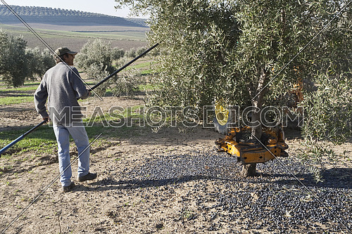 Jaen, Spain - yanuary 2008, 23: Farmer hitting tree with a stick during the collection of the campaign of olives in winter, take in Jaen, Spain