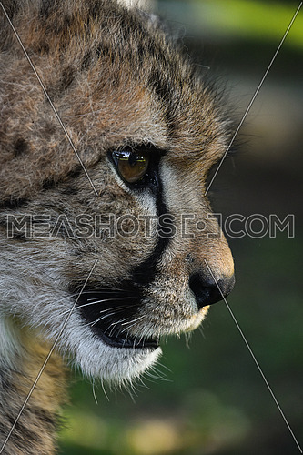 Extreme close up profile portrait of cheetah (Acinonyx jubatus) cub looking at camera over green background, low angle, side view