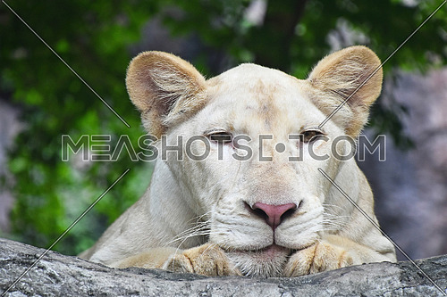Young white African lioness close up portrait laying on the stone in zoo environment