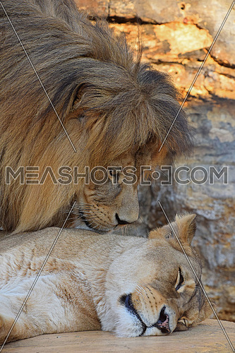 Kissing goodnight, close up side profile portrait of beautiful couple, female African lioness and male lion over background of sunset rocks, low angle view
