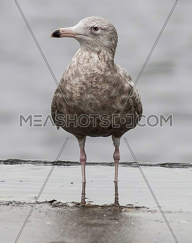 Glaucous Gull (Larus hyperboreus) on the beach
