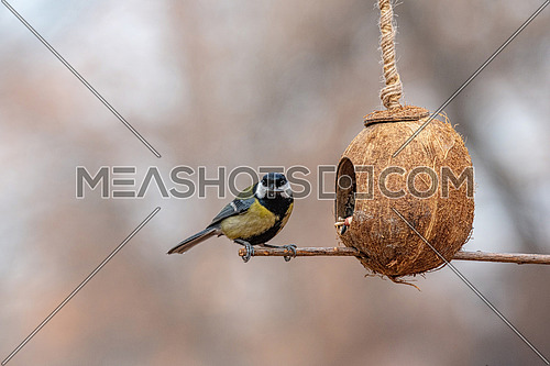 Cute  Great tit (Parus major) bird in yellow black colour sitting on bird feeder