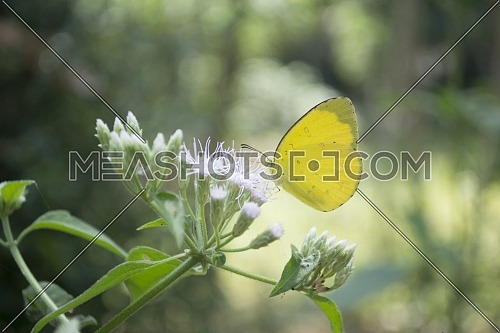 Close up of Yellow Butterfly Perched on Green Plants with White Flowers Against a Park Background of Many Trees