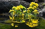 Yellow Caltha flowers in pond or lake water with reflection and ripples, stones behind, under bright sunshine backlight in day time, low angle view