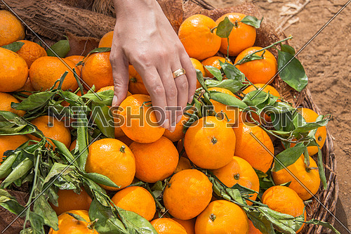 A female hand holding a tangerine from a basket