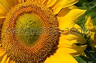 One yellow sunflower over green buds close up