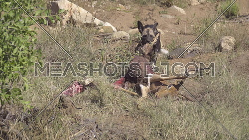 View of a Cape Hunting Dog tearing at a dead Impala