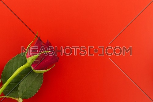 Single rose on red background top view with free copy space. Wishes, greetings and love message