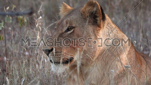 View of a lion that is very focused on surroundings
