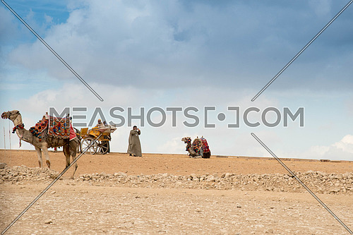Camels Resting in the Pyramids Area in Giza