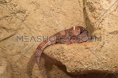 African fat-tailed geckos are nocturnal ground dwelling lizards that originate from desert areas in West Africa
