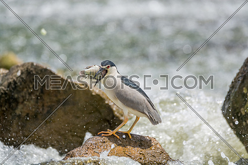 Black Crowned Night Heron eating a fish