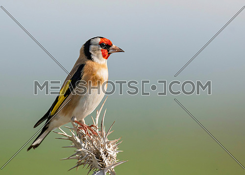 European Goldfinch (Carduelis Carduelis) perched on Stalk