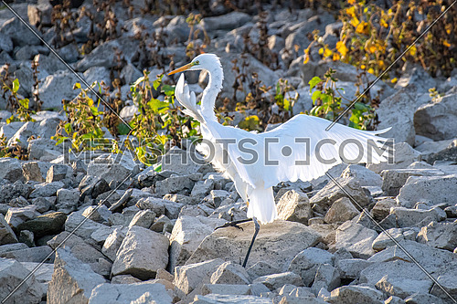 Great Egret(Ardea alba) Kerkini lake,Greece, Europe