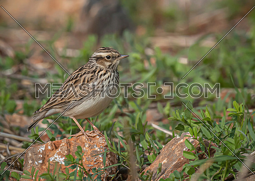 A woodlark song bird trying to camouflage itself on the ground