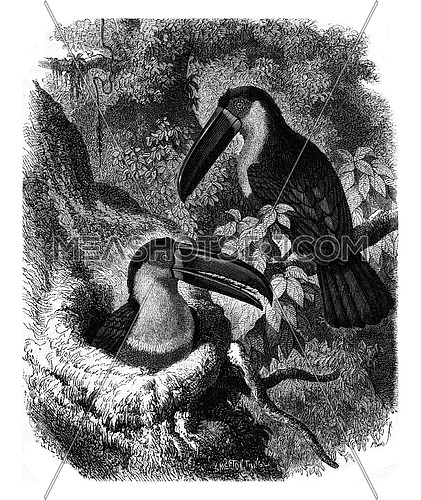 Ariel Toucan and its nest, vintage engraved illustration. Magasin Pittoresque 1880.