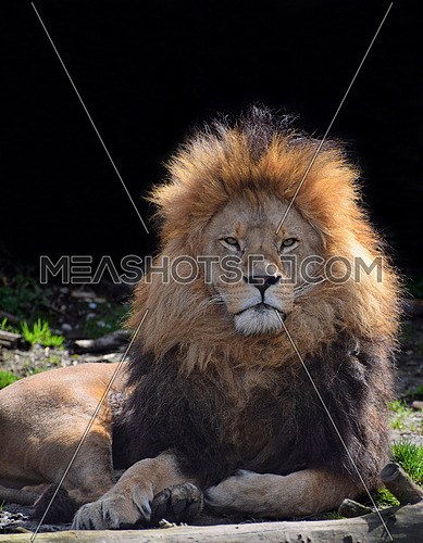 Close up portrait of cute male African lion with beautiful mane, laying on the ground and looking at camera, low angle view