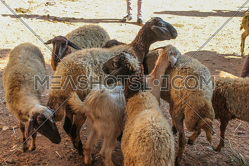 Farm raising sheep for sale