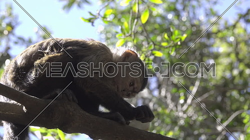 View of young Capuchin monkey eating in a tree
