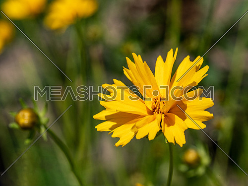 Beautiful floral background of yellow coreopsis flower outdoor.